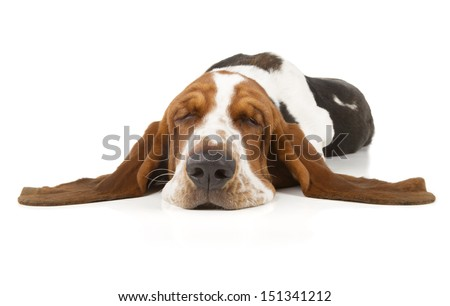 Basset Hound isolated on white background