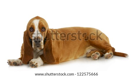 basset hound laying down looking at viewer on white background - stock photo