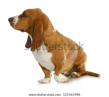 basset hound looking off to the side isolated on white background - stock photo