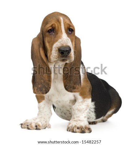 Basset Hound (3 months) in front of a white background - stock photo