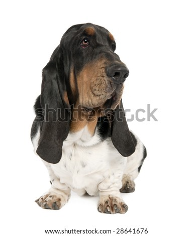 Basset Hound (10 months old) in front of a white background