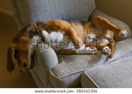 Basset hound naps in an easy chair with head and neck dangling over the side.