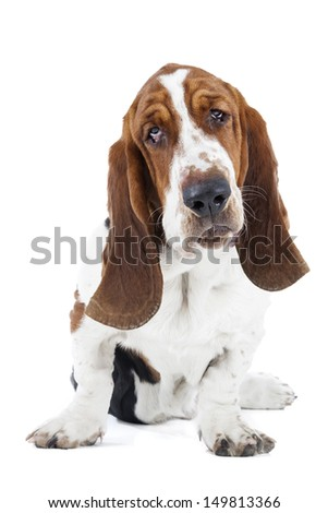 Basset hound on a white background in studio - stock photo