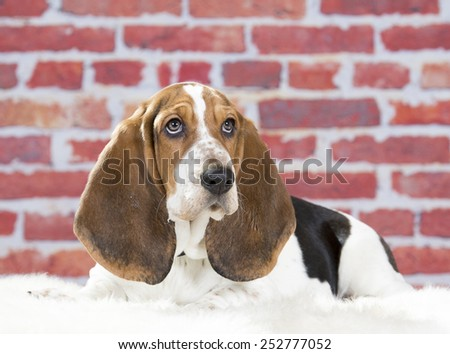 Basset hound portrait. Image taken in a studio. - stock photo