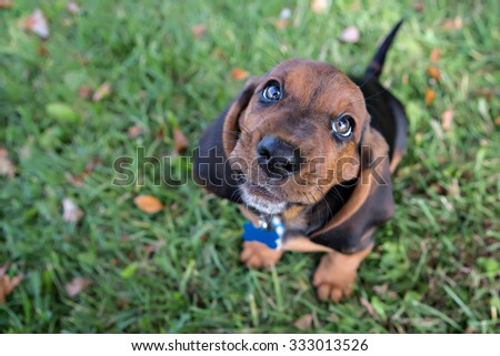 Basset Hound Portrait outside in the fall - stock photo