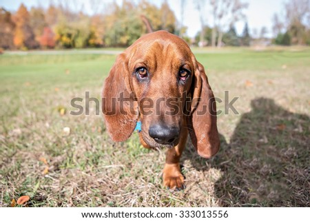 Basset Hound Portrait outside in the fall