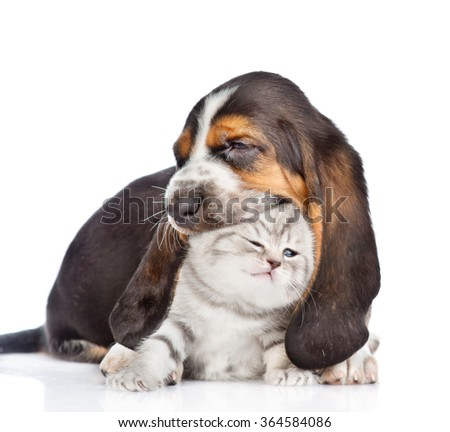 basset hound puppy biting tiny kitten. isolated on white background