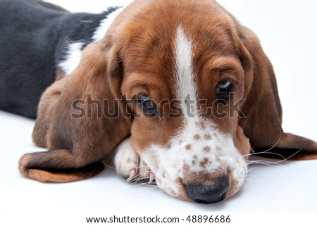 basset hound puppy closeup of face looking down on white background - stock photo