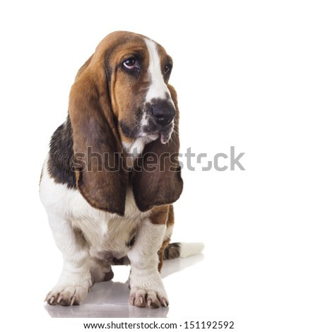 Basset Hound Puppy. Cute Basset dog sitting and looking away, isolated on white