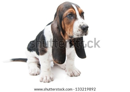basset hound puppy, eight weeks old, on white background in studio looking away from the camera - stock photo