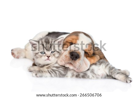 Basset hound puppy hugging tabby kitten. isolated on white background - stock photo