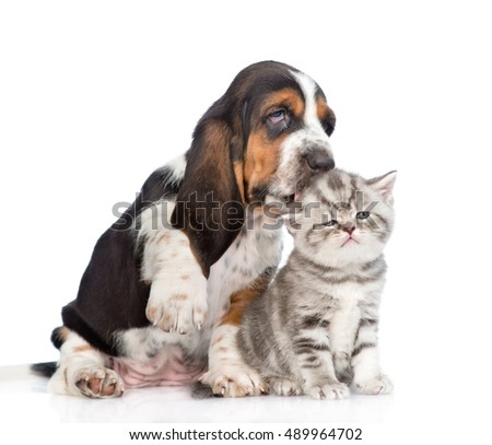 Basset hound puppy kissing tiny kitten. isolated on white background