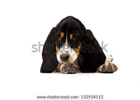 Basset Hound Puppy Laid Isolated on a White Background Looking Down - stock photo