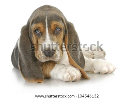 basset hound puppy laying down looking at viewer - stock photo