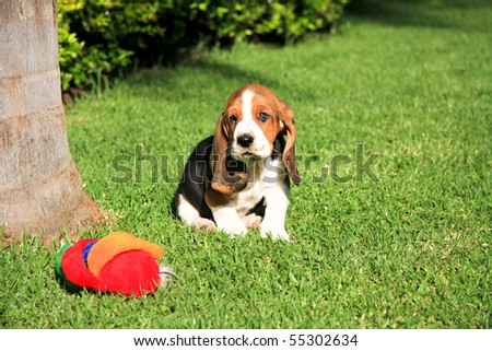 basset hound puppy on green grass with red toy - stock photo