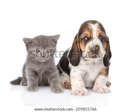 Basset hound puppy with kitten sitting together. isolated on white background