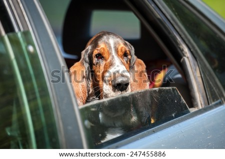 Basset hound sitting in a car - stock photo