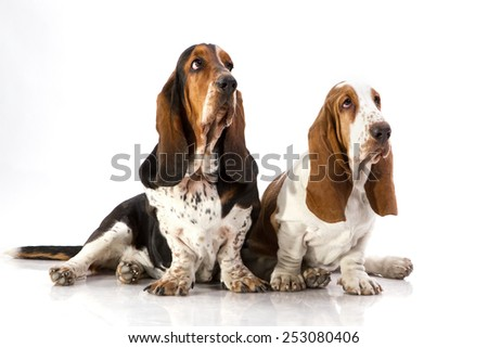 Basset Hound,  sitting in front of white background - stock photo