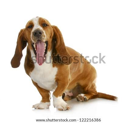 basset hound with funny expression sitting on white background - stock photo