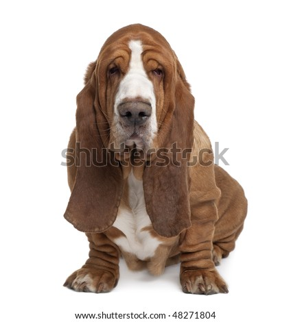 Basset Hound, 2 years old, sitting in front of white background - stock photo