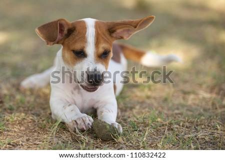 bassett hound beagle mix breed puppy playing with a ball - stock photo