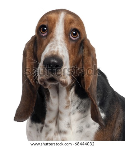 Bassett Hound, 6 years old, in front of white background - stock photo