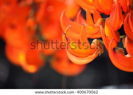 bastard teak flower - stock photo