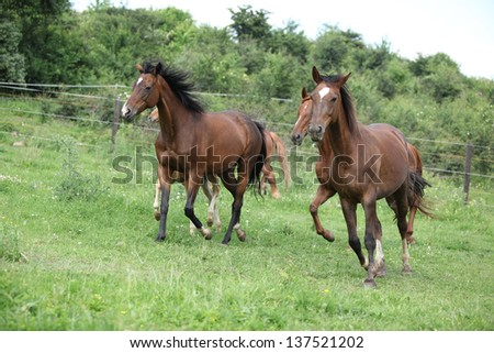 Batch of brown horses running on pasture - stock photo