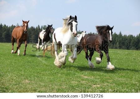Batch of nice irish cobs running in freedom - stock photo