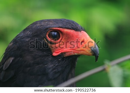 Bateleur Eagle in green background - stock photo
