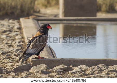 Bateleur (Terathopius ecaudatus) - stock photo