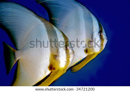 Batfish. Great Barrier Reef, Australia. - stock photo