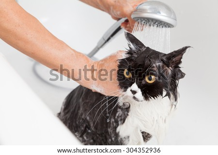 Bath or shower to a Persian breed cat - stock photo