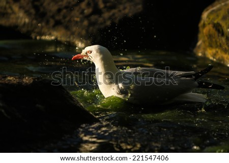 bath time for an adult sea gull in park pond sunlight