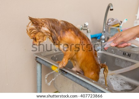 Bathing   chihuahua dog