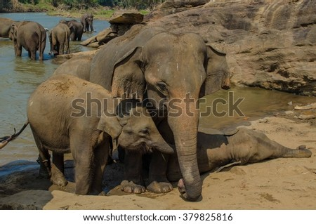 Bathing elephant family
