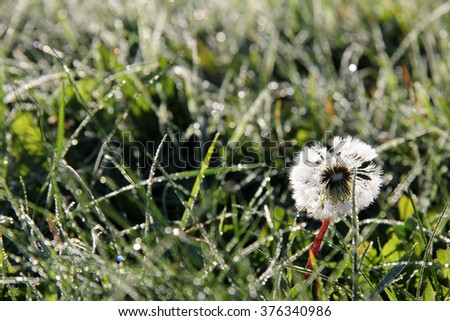 bathing in the sun the morning dew dandelion/abstract morning dandelion out of focus - stock photo