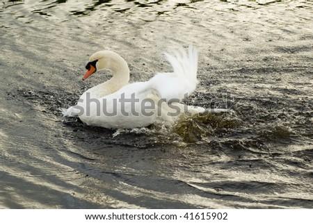 Bathing swan - stock photo