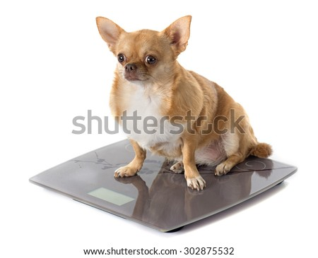 bathroom scales and fat chihuahua in front of white background