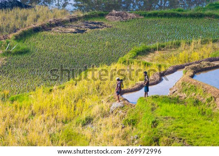 Batutumonga, Sulawesi, Indonesia - September 6, 2014: Unidentified men manually working in the rice fields of Tana Toraja, Indonesia. Concept of rural working condition in developing countries. - stock photo