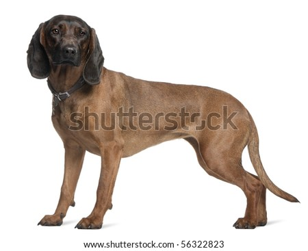 Bavarian Mountain Hound, 3 years old, standing in front of white background - stock photo