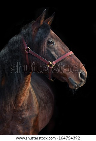 Bavarian racehorse looking away in black background
