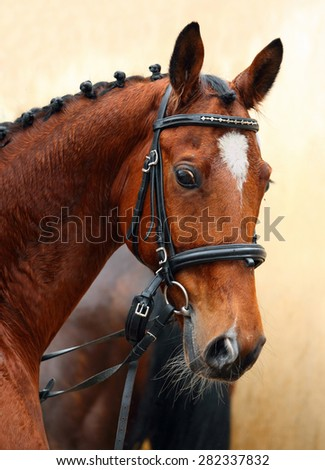 Bavarian Warmblood horse, portrait wearing a bridle and a snaffle, brown - stock photo