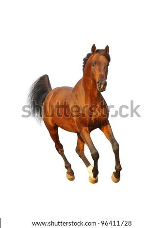 bay arab stallion - stock photo