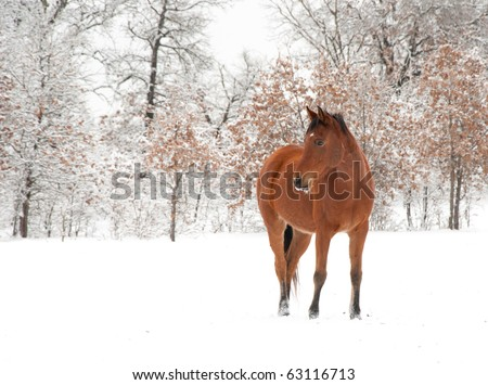 Bay Arabian horse in snow on a cold winter day - stock photo