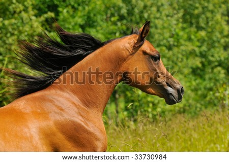 bay arabian horse portrait in gallop