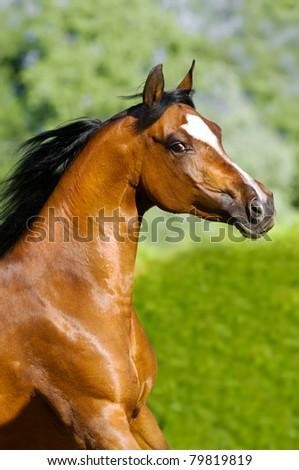 bay arabian horse runs gallop in summer - stock photo