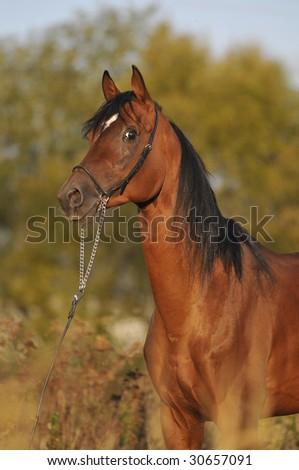 bay arabian horse stallion portrait - stock photo