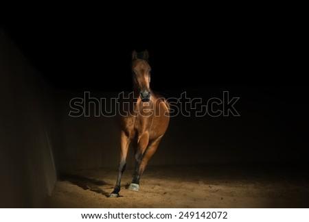 Bay arabian horse training in the riding hall - stock photo