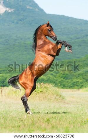 bay arabian stallion rearing on the meadow - stock photo